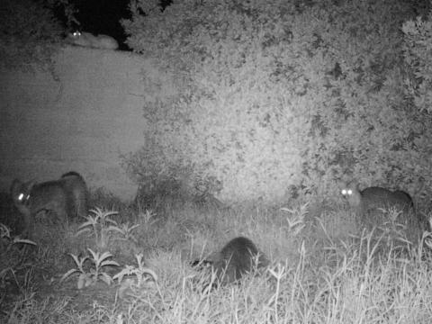 2 foxes 2 cats 9-14-2018
