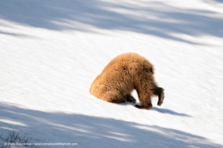Snow diving bear